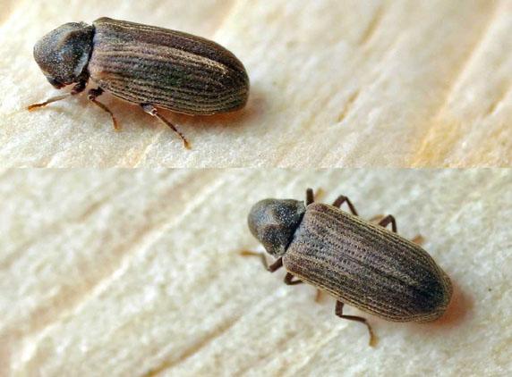 Termitas for Larvas de polillas en el techo